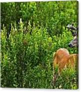 Whitetail Deer In Meadow, Killarney Canvas Print