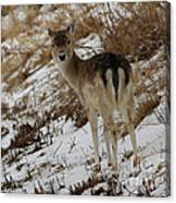 Whitetail Fawn In A Winter Meadow Canvas Print