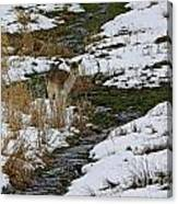Whitetail Fawn In Winters Stream  Canvas Print