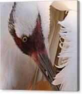 Whooping Crane Preening Canvas Print