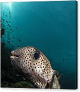 Wide-angle Image Of Pufferfish, Raja Canvas Print