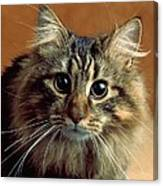 Wide-eyed Maine Coon Cat Canvas Print