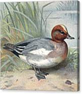 Widgeon, Historical Artwork Canvas Print