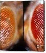 Wild & White-eosin Eyes In Drosophila Canvas Print