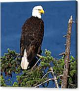 Wild Bald Eagle On Fir Tree Canvas Print