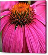 Wild Berry Purple Cone Flower Canvas Print