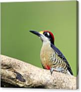 Wild Black-cheeked Woodpecker Canvas Print