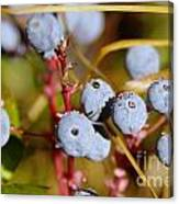 Wild Blue Berries With Water Drops  Canvas Print
