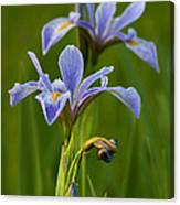 Wild Blue Flag Iris Canvas Print