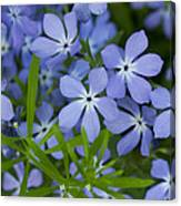 Wild Blue Phlox Flower 1 A Canvas Print