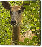 Wild Doe Canvas Print