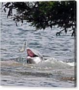 Wild Dolphin Feeding Canvas Print