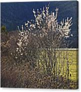 Wild Fruit Tree In The Country Canvas Print