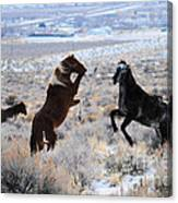 Wild Horse Fight Canvas Print