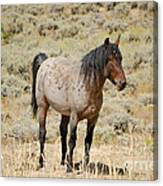 Wild Horses Wyoming - The Mare Canvas Print