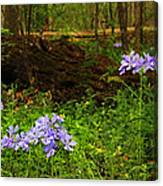 Wild Phlox In The Woodlands Canvas Print