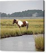 Wild Pony In The Marsh On Assateague Island Md Canvas Print