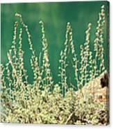 Wild Sage Canvas Print