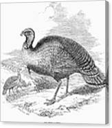 Wild Turkey, 1853 Canvas Print
