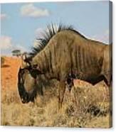 Wildebeest Canvas Print