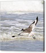 Willet Flying Canvas Print