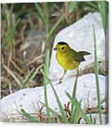 Wilsons Warbler By The Stream Canvas Print