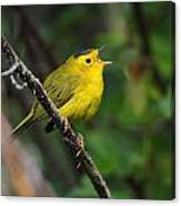 Wilsons Warbler In Song Canvas Print