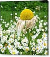 Wilted Daisy In The Garden Canvas Print