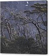 Wind-sculpted Southern Beech Forest Canvas Print