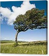 Wind-swept Solitary Tree On Open Grassy Canvas Print