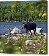 Window To The Moose Canvas Print