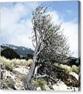 Windswept Tree Canvas Print