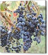 Wine Grapes In Provence Canvas Print