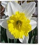 Winter Daffodil  Canvas Print