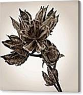 Winter Dormant Rose Of Sharon - S Canvas Print