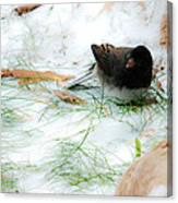 Winter Junco Canvas Print