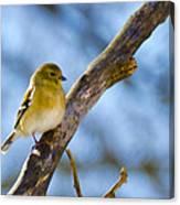 Winter Morning Song Bird Canvas Print