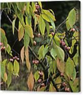 Winterberry Euonymus 'dart's Pride' Canvas Print