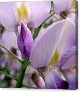 Wisteria Flowers Canvas Print