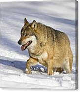 Wolf Canis Lupus Walking In Snow Canvas Print