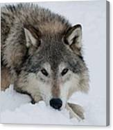 Wolf Closeup Canvas Print