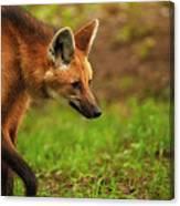 Wolf Strut Canvas Print