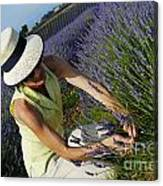 Woman Picking Up Lavender Flowers In Field Canvas Print