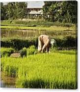 Woman Planting Rice Canvas Print