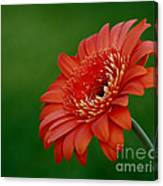 Wonder Of Nature Gerber Daisy Canvas Print