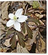 Wood Anemone - Anemone Quinquefolia Canvas Print