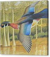 Wood Duck Flying Canvas Print