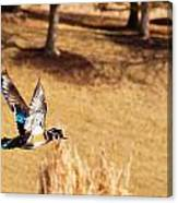 Wood Duck In Fflight Canvas Print