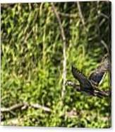 Wood Duck In Flight Canvas Print