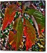 Woodbine Autumn Colors Canvas Print